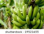 Banana Bunch Ripening On Tree.