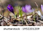 sun shines on wild purple and... | Shutterstock . vector #1952201209