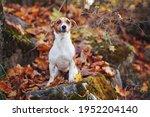 small jack russell terrier dog... | Shutterstock . vector #1952204140