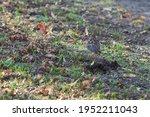 Female Blackbird   Turdus...