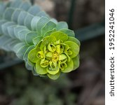 A Macro Of Myrtle Spurge Sprout ...