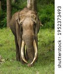 Small photo of A lonely tusker busy feeding on a monsoon morning