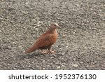 Ground Dove Walking On Asphalt...