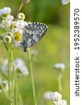 Marbled White  Black And White...