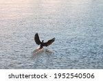 Cormorant Bird Flying Hovering...