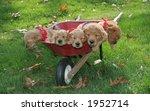 adorable golden retriever puppies sleeping in wheel barrel - stock photo