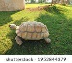 Sea Turtle Walking On The Park...