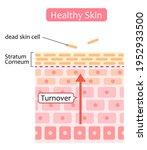 healthy skin cell turnover...   Shutterstock .eps vector #1952933500