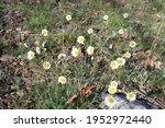 Daisies Blooming In Spring....