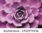 Small photo of Succulent Echeveria. Evergreen succulent perennials or subshrubs with rosettes of colorful, rosette shaped flowers. Cacti indoor decorative plant. Botanical gardening background.