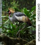 Small photo of Grey crowned crane or Balearica regulorum also known as the African crowned, golden crested, golden-crowned, East African crowned, Eastern crowned, South African is a bird in the crane family, Gruidae