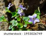 Viola Grypocera  Japanese...