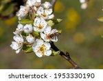 Bee Pollinates Apple Tree...