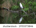 Great Egret With Reflection In...