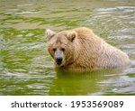 Bear bathes in natural...