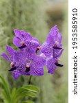 Small photo of Beautiful Vanda Orchid (Vanda Mahaka aphongs)