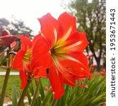 Red Amaryllis Flower With Big...