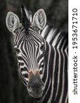 Chapman's Zebra  Equus Quagga...