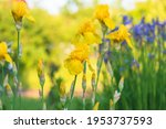 Blooming Yellow Iris Flowers On ...