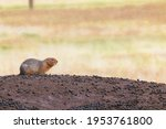 Side View Of A Ground Squirrel...