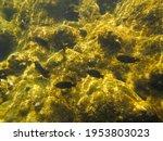 Black Fish Swimming On Rocks...