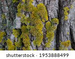 A Yellow Green Lichen Has Grown ...