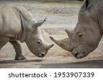 Two Southern White Rhinoceros...