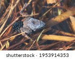 Pair Of Moor Frogs With Female...