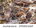 Two Brown Frogs Copulating In...