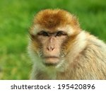 Portrait Of A Berber Monkey