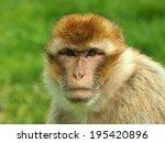 Portrait Of A Berber Monkey