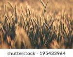 rye field during sunset. | Shutterstock . vector #195433964