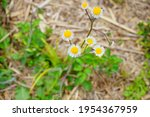 Flower Of Annual Fleabane  ...