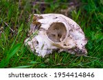 Skull Of A Cat In Green Grass....