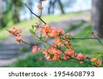 Japanese Quince In Bloom...