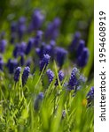 Muscary  Muscari Botryoides Sp. ...