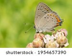An Acadian Hairstreak Is...