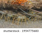 Spiny Lobsters Congregating...