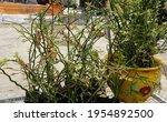 Euphorbia Tithymaloides Also...