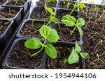 Cucumber Seedlings In Potting...