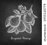 bergamot orange branch with... | Shutterstock .eps vector #1955120779