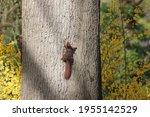 Squirrels In Oak On Old...