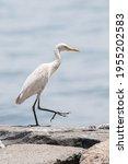 Small photo of median egret, smaller egret, or yellow-billed egret (Ardea intermedia) , bird