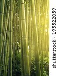 Sunlight In Bamboo Forest
