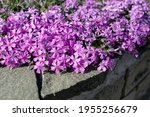 Small photo of Phlox subulata (creeping phlox, moss phlox or mountain phlox) flowers background. Close up of beautiful pink flowers.