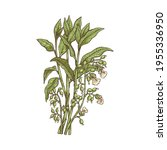 blooming cardamom plant with... | Shutterstock .eps vector #1955336950