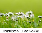 bellis perennis  daisy blooms... | Shutterstock . vector #1955366950