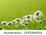 bellis perennis  daisy blooms... | Shutterstock . vector #1955366956