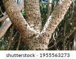 Pandanus Tree Trunk Covered...