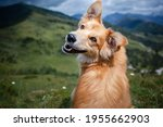 Brown Mixed Breed Dog With...